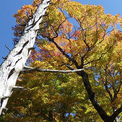 大台ヶ原でよく見られる立ち枯れの樹木と元気な樹木