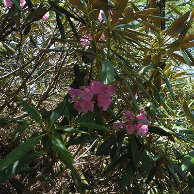 アケボノツツジの花が見られるのは6月初旬頃