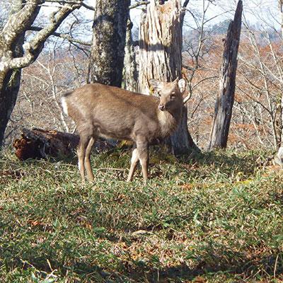 運が良ければ野生の鹿に遭遇することもあります