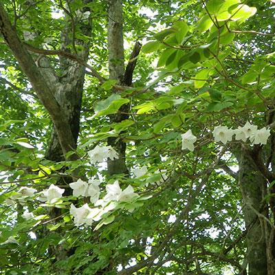 シロヤシオの群生が咲くのは6月中旬頃